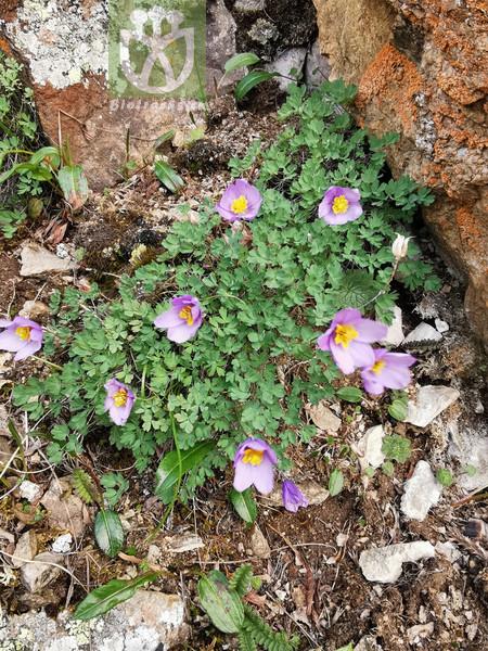 Paraquilegia microphylla