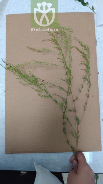 Artemisia manshurica