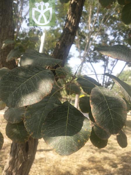 Cotinus coggygria subsp. glabrus