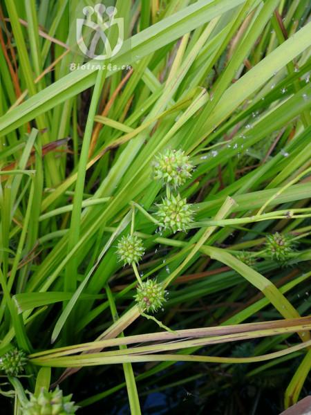 Sparganium asiaticum