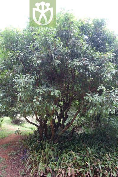 Pistacia weinmannifolia