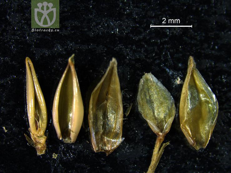 Neohusnotia tonkinensis