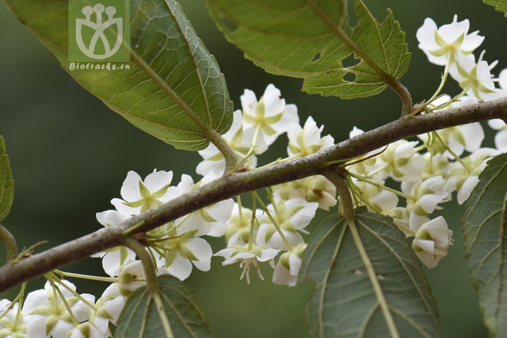 Paradombeya sinensis