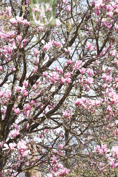 Populus rotundifolia