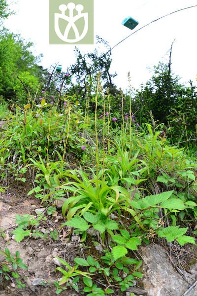 Metanarthecium foliatum