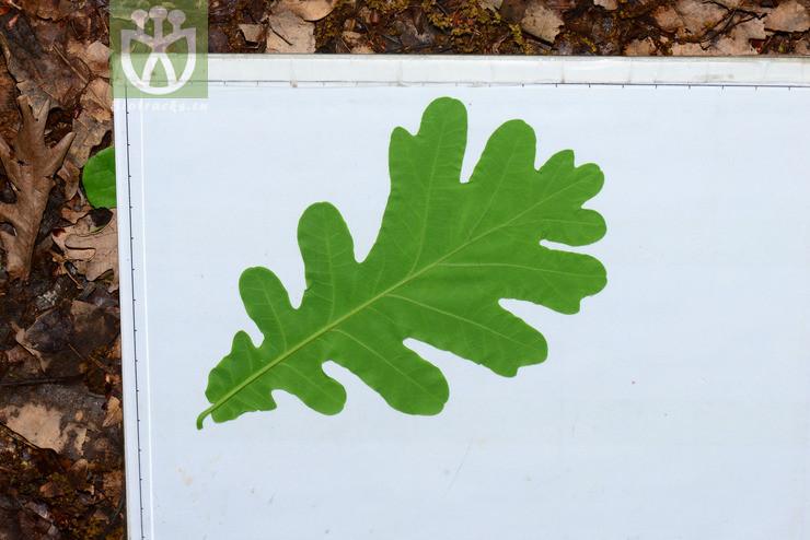 Quercus hispanica