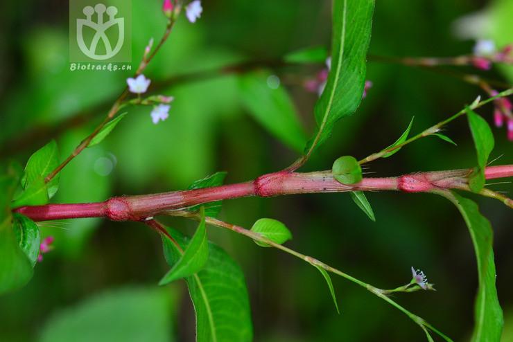 Polygonum pubescens