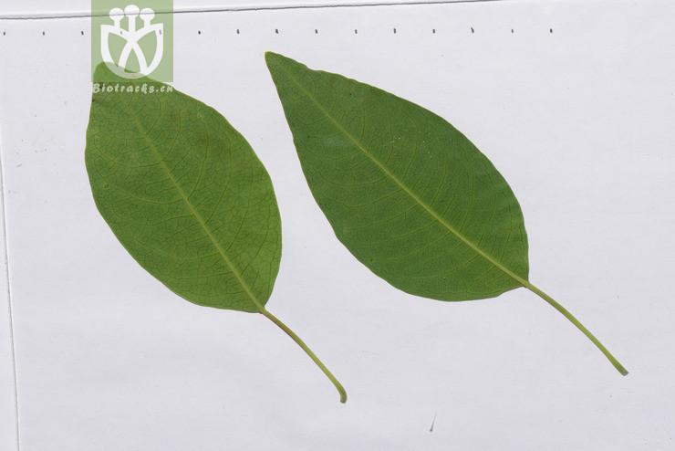 Sapium pleiocarpum