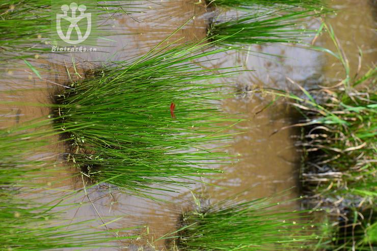 Schoenoplectus mucronatus subsp. robustus