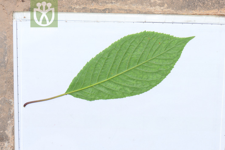 Prunus avium