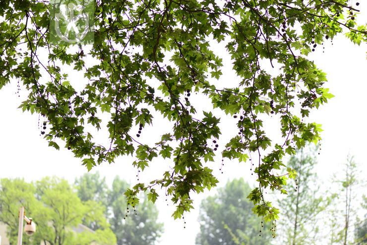 Platanus vitifolia