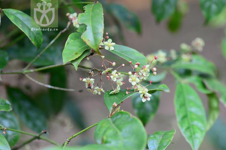Euonymus glaber