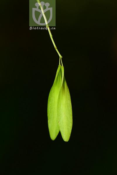 Fraxinus mandshurica