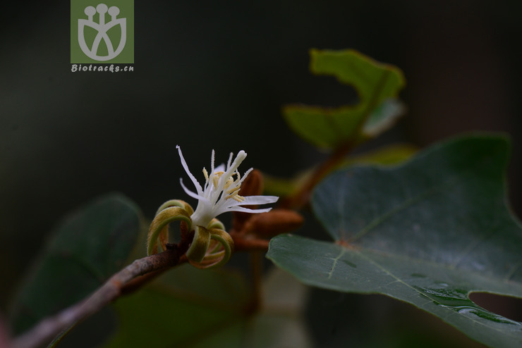 Pterospermum proteus