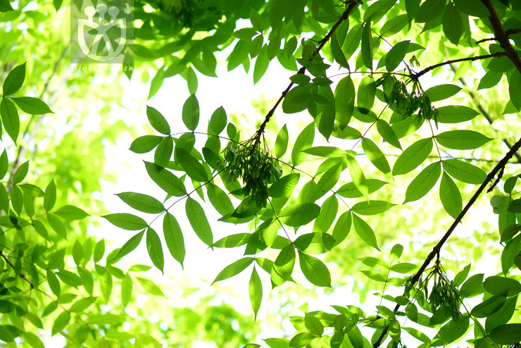 Fraxinus excelsissima