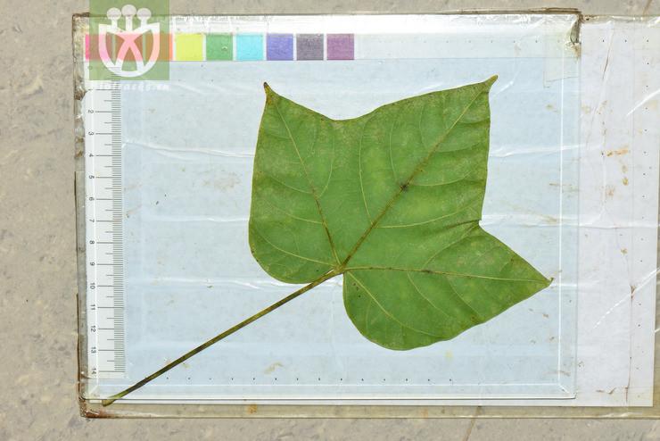 Erythropsis colorata
