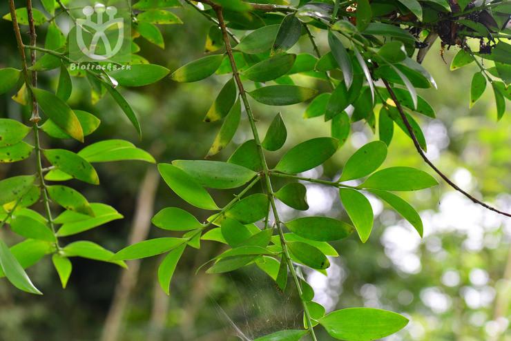 Podocarpus formosensis