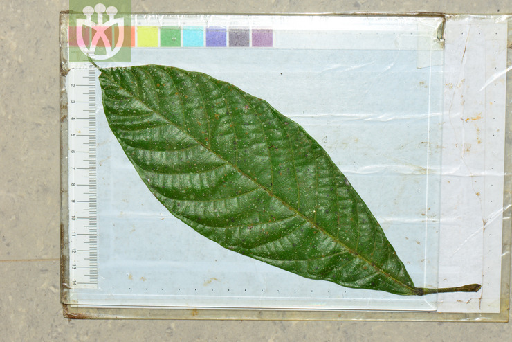 Sterculia cinnamomifolia