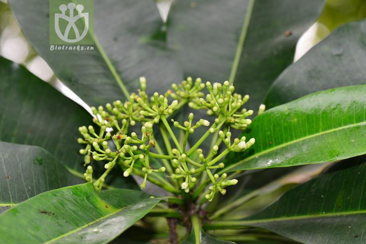 Cyrtosiphonia madurensis