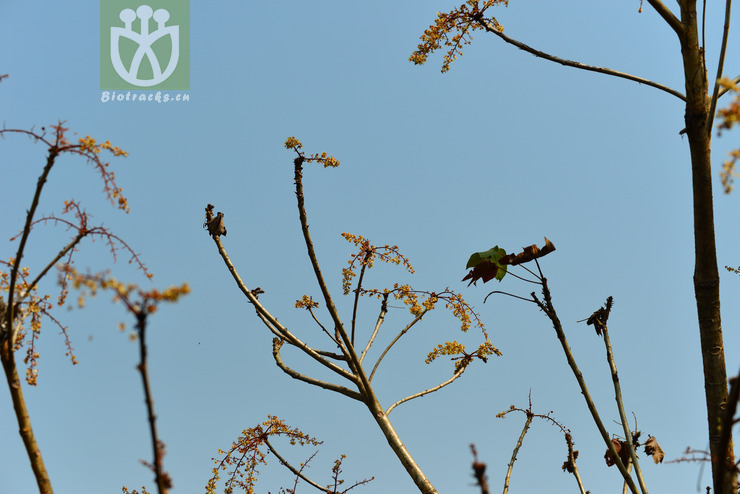 Sterculia villosa