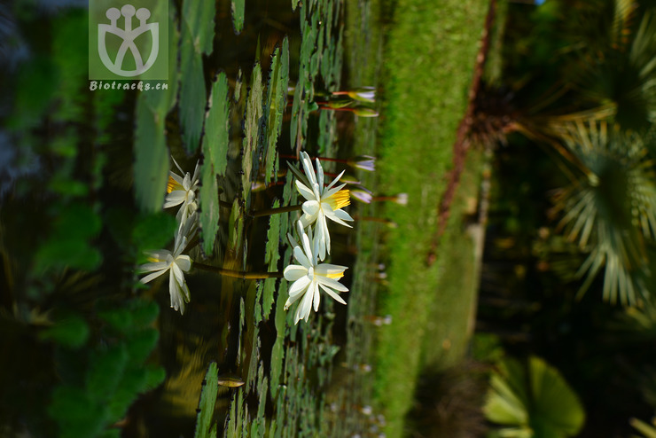 Nymphaea liberiensis