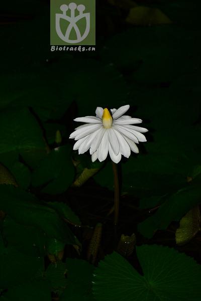 Castalia pubescens