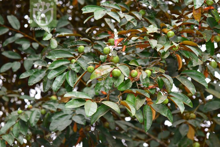 Chrysophyllum cainito