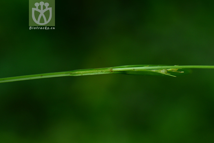 Scleria biflora