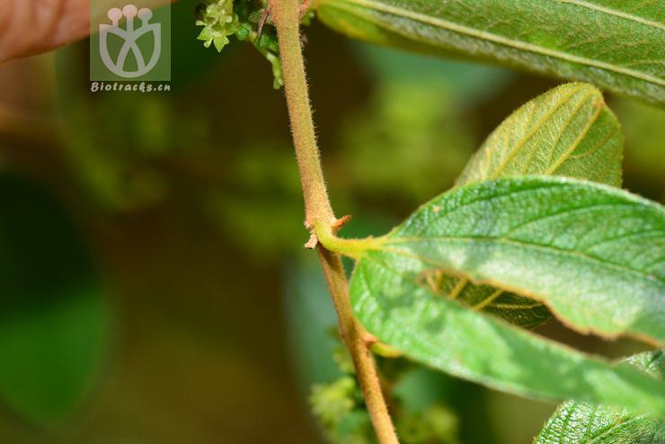Ziziphus oenopolia