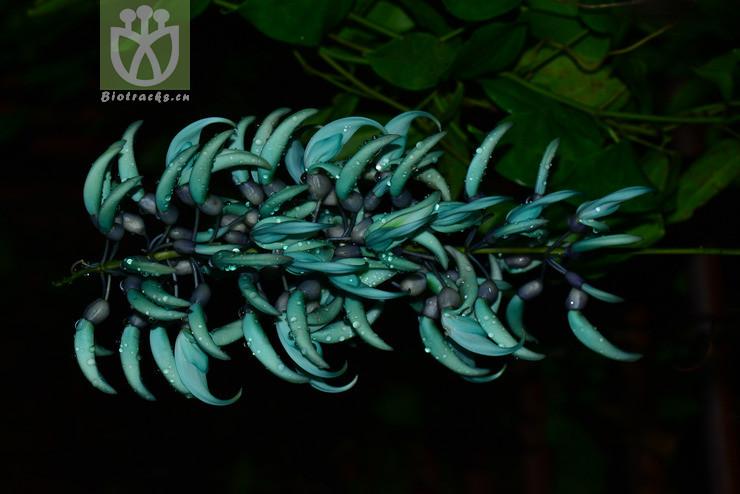 Strongylodon macrobotrys