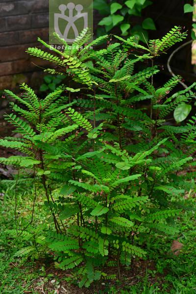 Phyllanthus pulcher