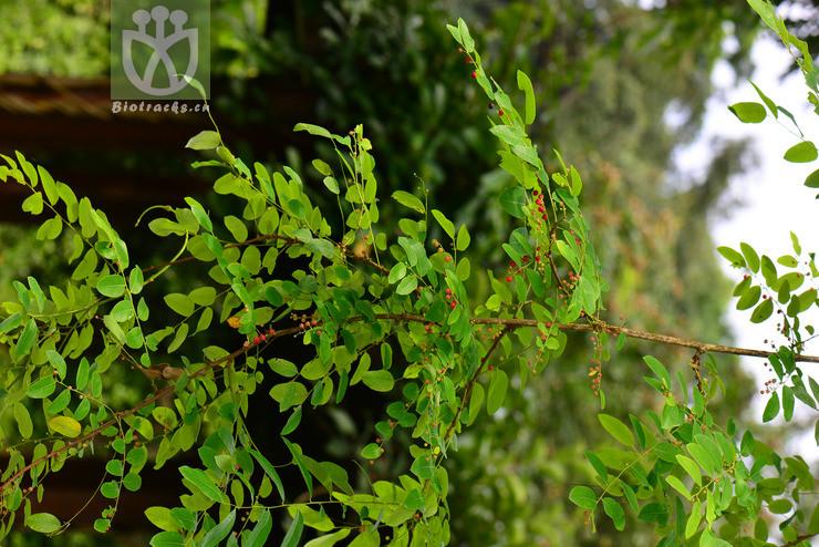Phyllanthus microcarpus