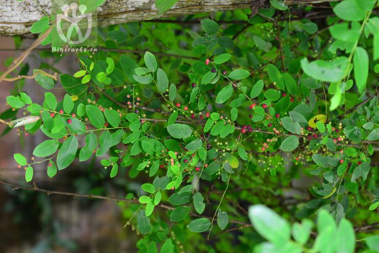 Phyllanthus reticulatus var. glaber
