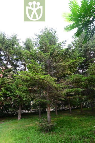 Abies holophylla var. aspericorticea