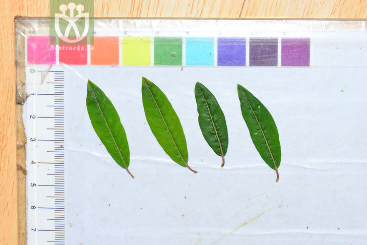 Salix rehderiana