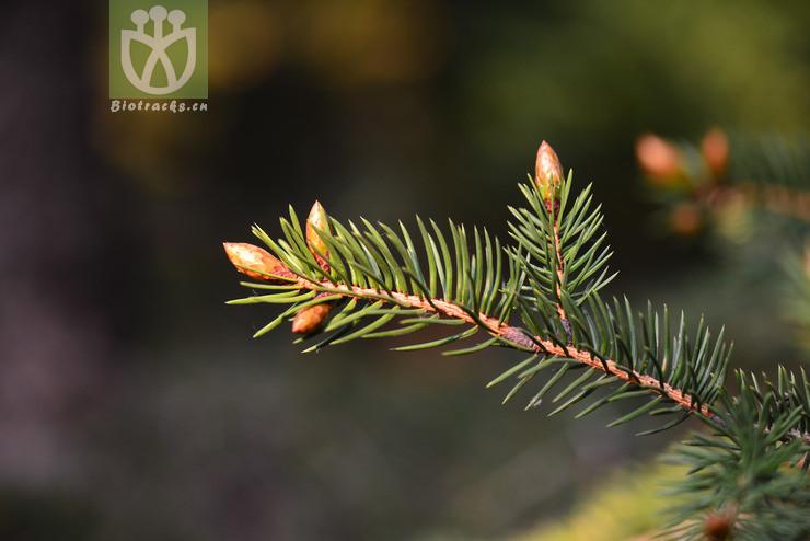 Picea polita