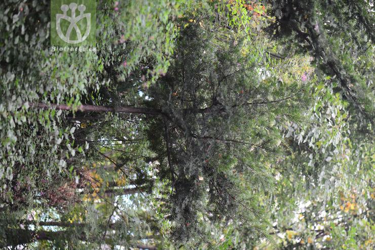 Taxus baccata subsp. cuspidata