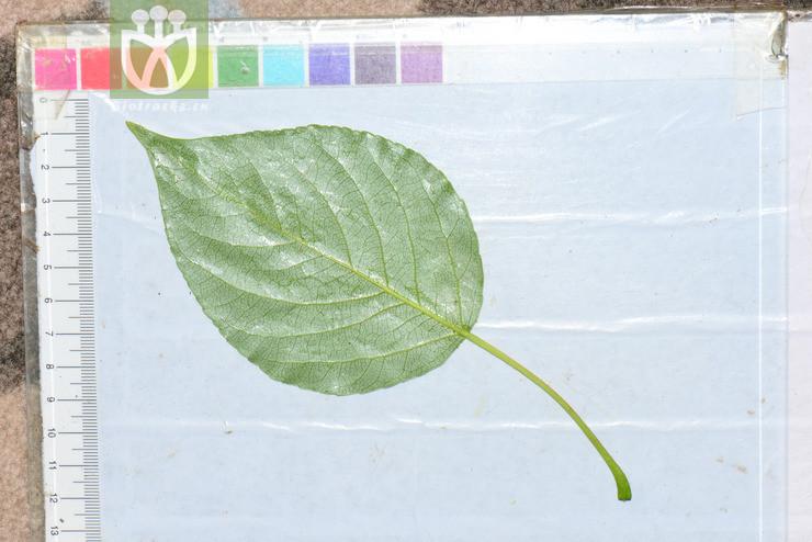 Populus szechuanica