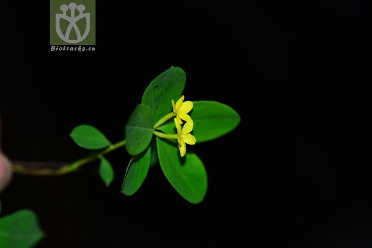 Daphne myrtilloides