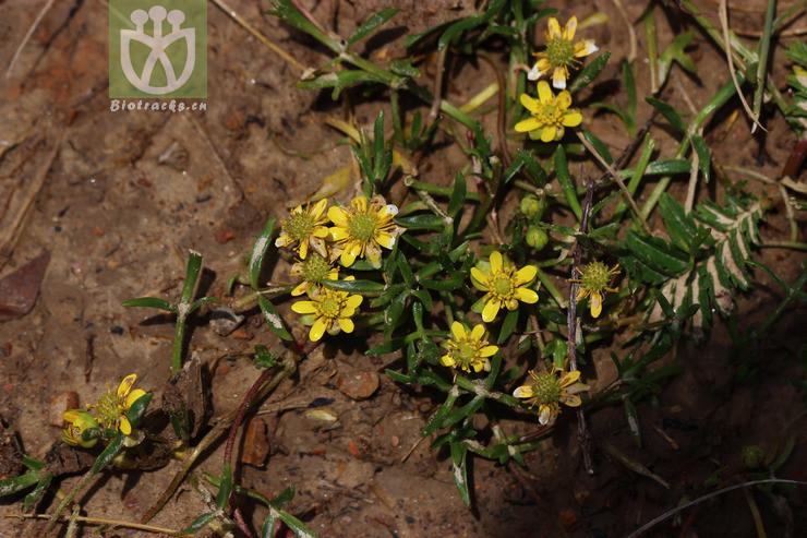 Halerpestes tricuspis var. tricuspis