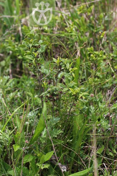 Euonymus semenovii