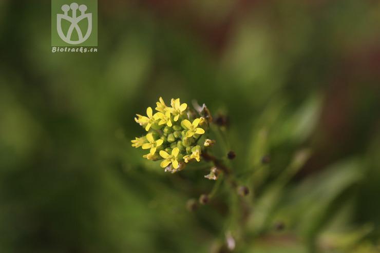Camelina microphylla