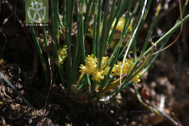 Ephedra intermedia