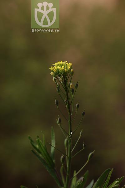 Camelina microcarpa
