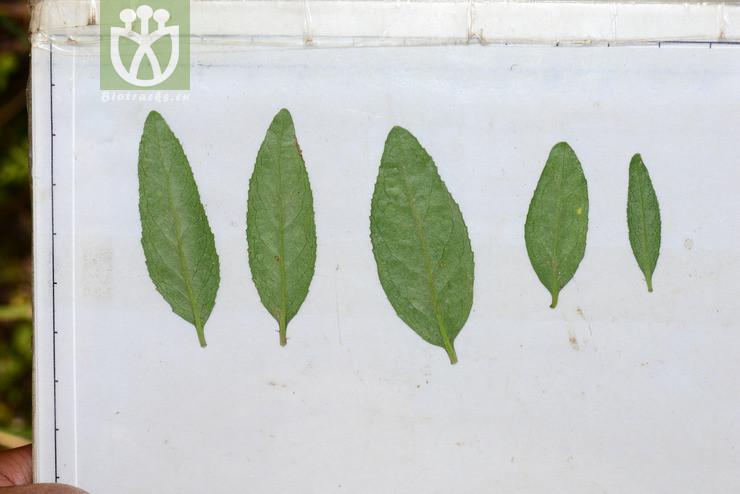 Euonymus nanoides