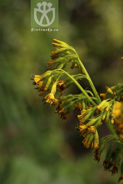 Ligularia duciformis