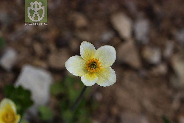 Anemone geum subsp. geum