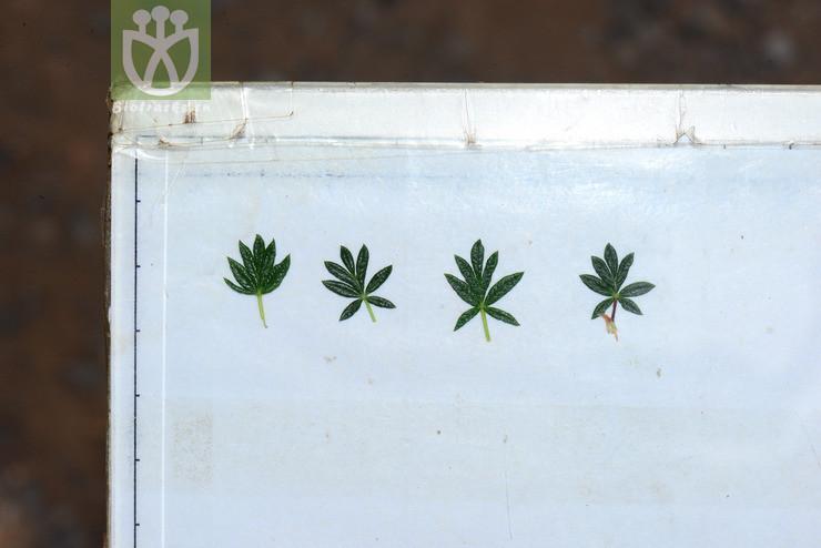 Potentilla parvifolia