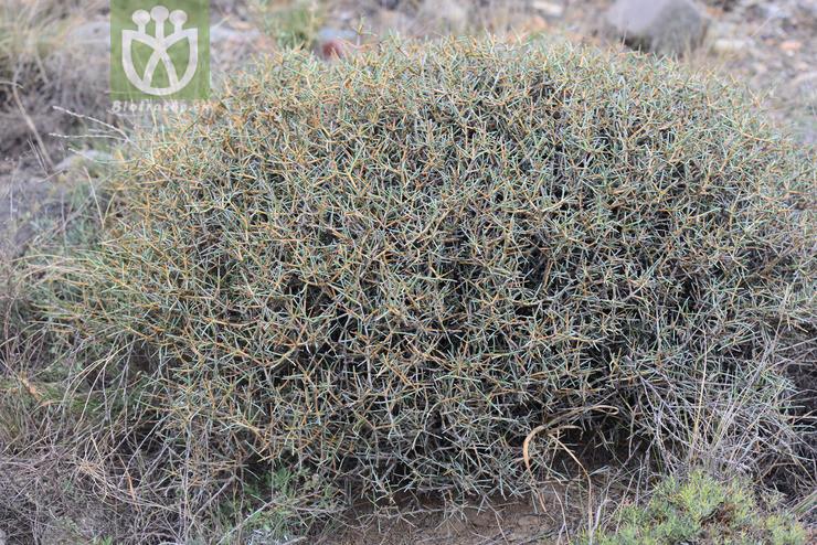 Ephedra rhytidosperma