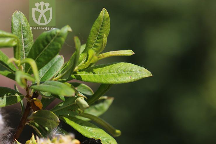 Salix huiana